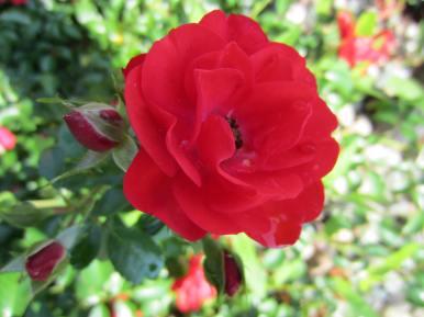 Shrub Rose Blossom (2)