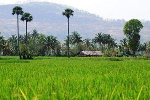 kerala-paddy-field