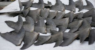 Shark Finning