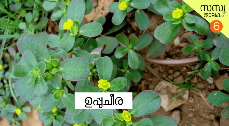 ഉപ്പു ചീര