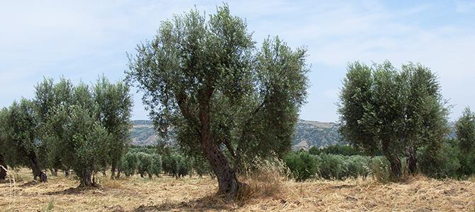 オリーブの栽培