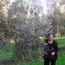 オリーブの実がたわわに実ったディベンガ農家のオリーブ畑とマンマ
