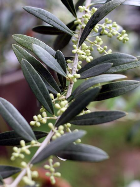 ペンドリーノの花芽