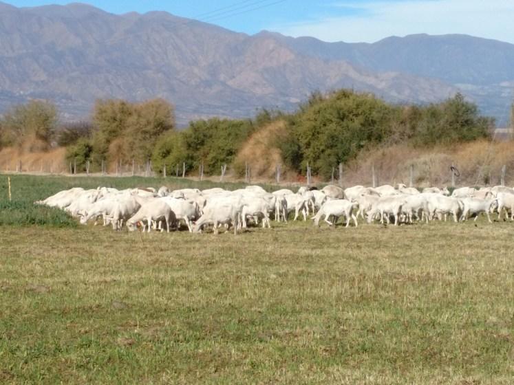 Cabras de Cafayate pastoreo