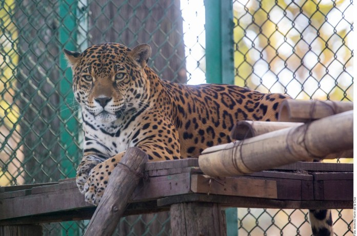 tráfico de jaguar