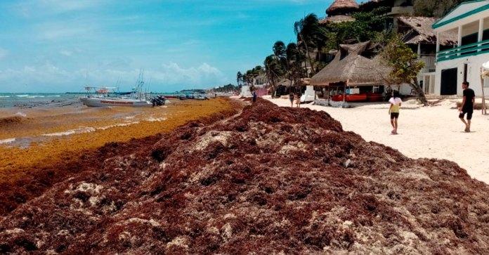 Traen vientos mayor sargazo hacia Quintana Roo