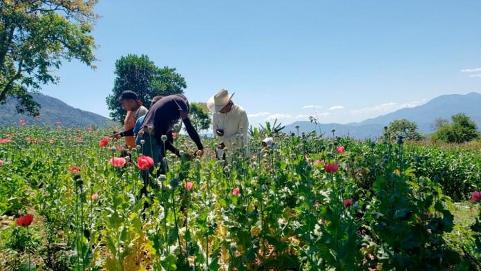Cae cultivo de amapola en México