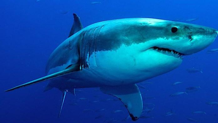 Promueven protección de los tiburones