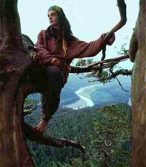 Julia Butterfly sobre la sequoia Luna