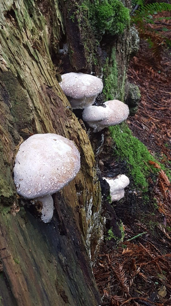 Mushrooms in the redwoods and Lucia Light Benefits
