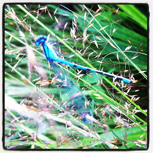 Dragonfly in the grass at Pitt Lake