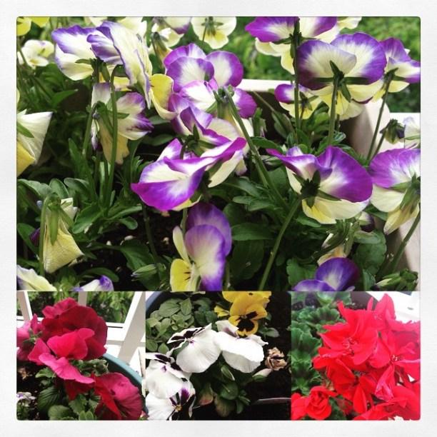 Spring balcony flowers # # #