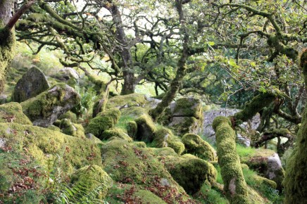 Wizened and moss covered oak