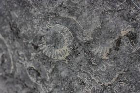 fossilc