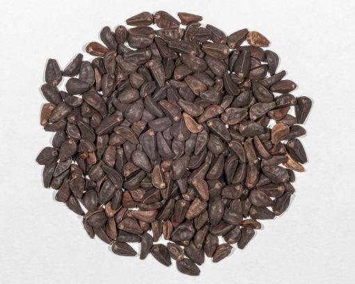 morning glory seeds