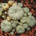 peyote seeds