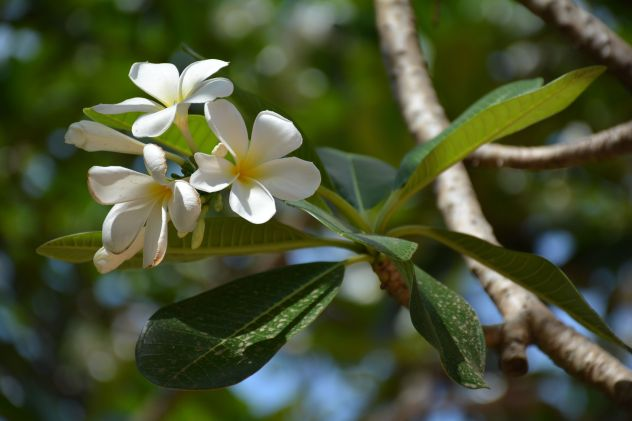 life in cambodia tree flowers