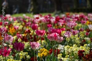 tulips-15