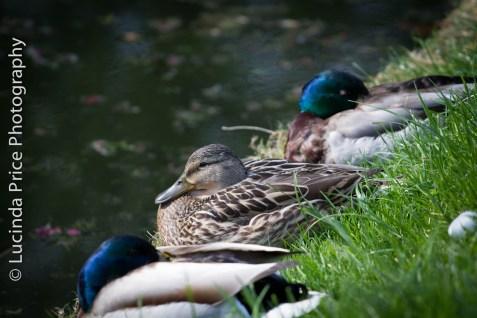 Ducks row Lucinda Price Photography Cambridge