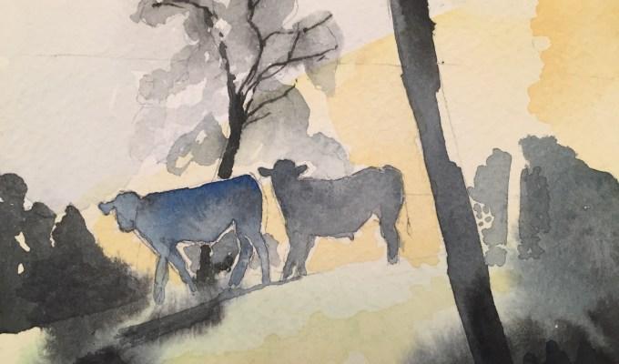Morning Steers