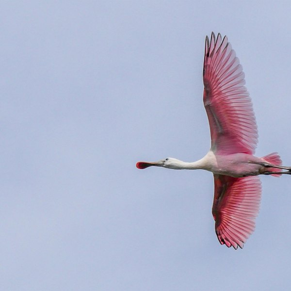 Featured Photo: Roseate Spoonbill