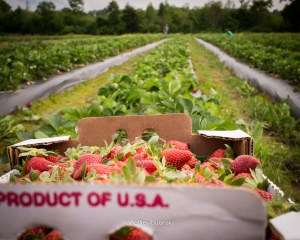 Luckett Farms - Louisiana Organic Strawberries