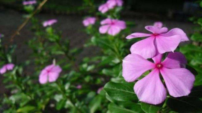 Manfaat Minyak Bunga Geranium Untuk Kesehatan