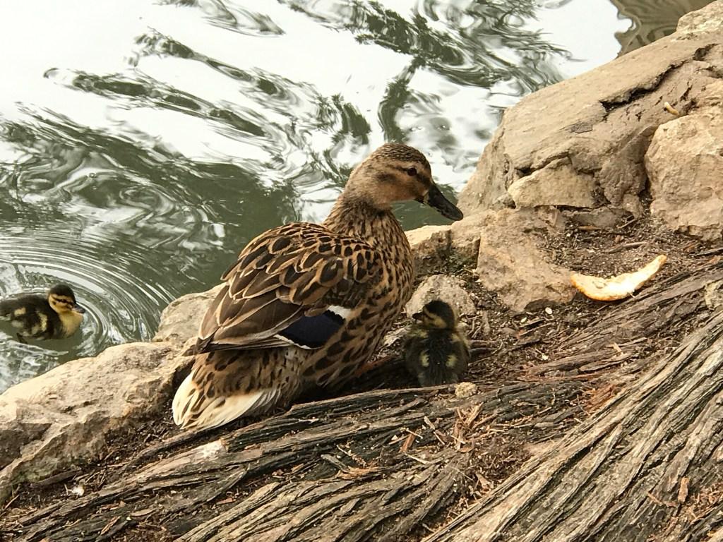 San Antonio Riverwalk ducks