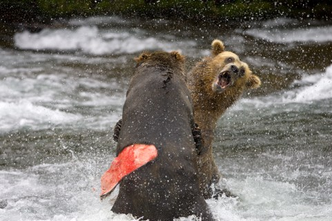 Adult Grizzly Bears fight for fishing rights Brooks Falls - Alaska