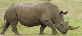 https://commons.wikimedia.org/wiki/File:Rhino_2.jpg