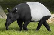 https://adlayasanimals.wordpress.com/2015/02/08/tapirs-family-tapiridae/