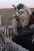 Nomad man with his sheep, Gobi desert