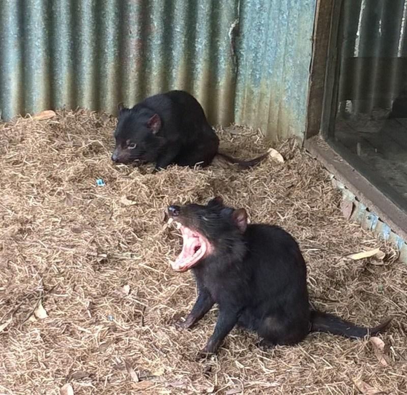 Lo sbadiglio del diavolo della Tasmania