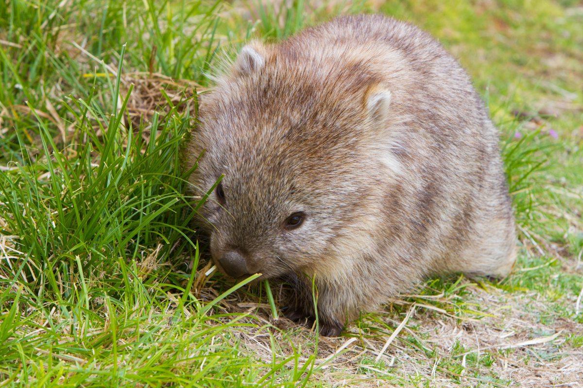 Chi o cosa è un Wombat