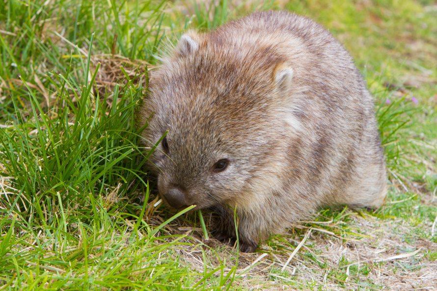 vombato Lucy the Wombat nel prato