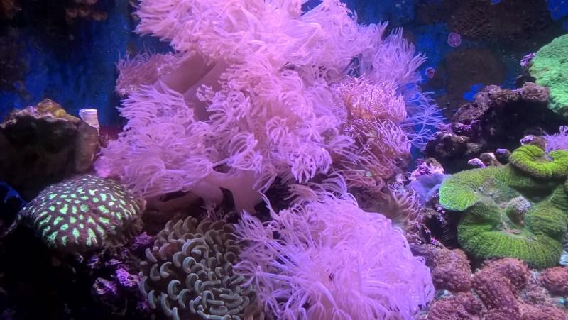 La bellezza della natura marina: anemoni di mare rosa