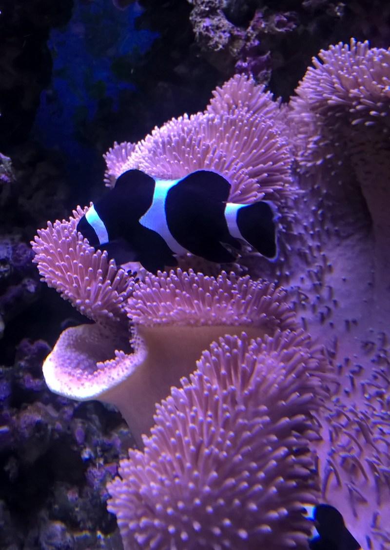 pesce pagliaccio bianco nero con anemone di mare rosa