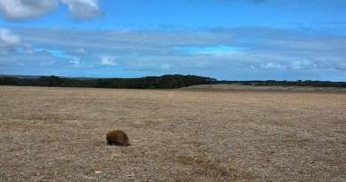 echidna che vaga su una pianura deserta
