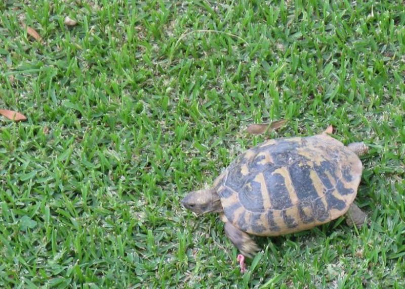 Tartaruga sul prato
