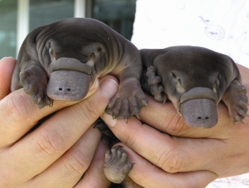 just-a-couple-of-baby-platypus.jpg