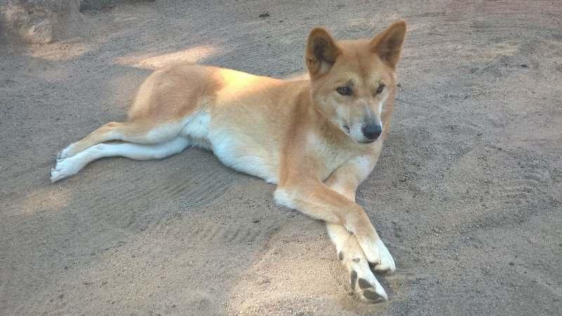 Dingo, cane australiano nativo, sdraiato