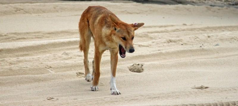 Dingo sulla spiaggia che sbadiglia
