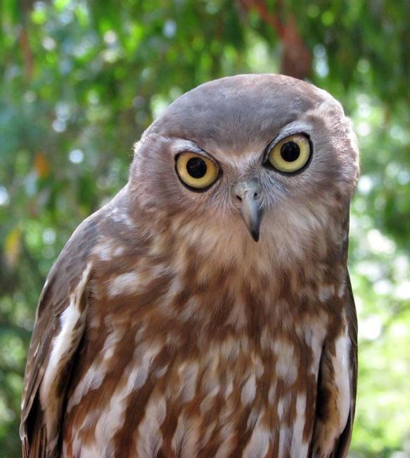 """Un barking owl, gufo australiano """"abbaiante"""" dagli occhi gialli"""