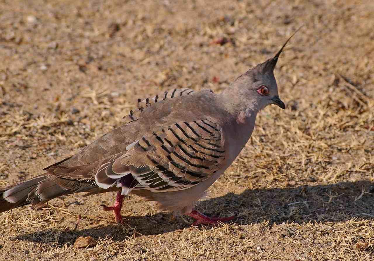 piccione-crestato-australiano-con-cresta-eretta
