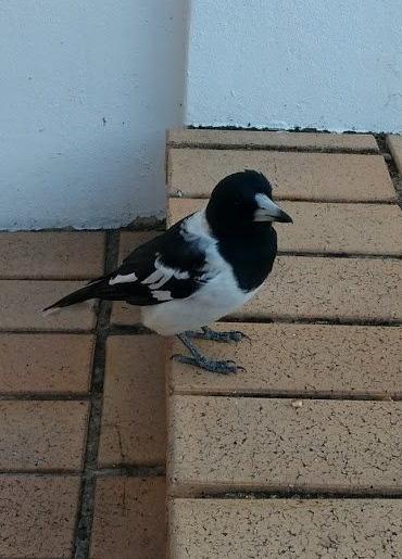 Un uccello beccaio pezzato in cerca di cibo