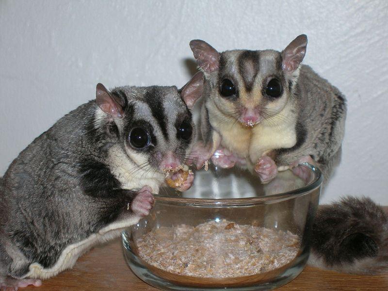 petauri domestici maschio e femmina con ciotola di cibo