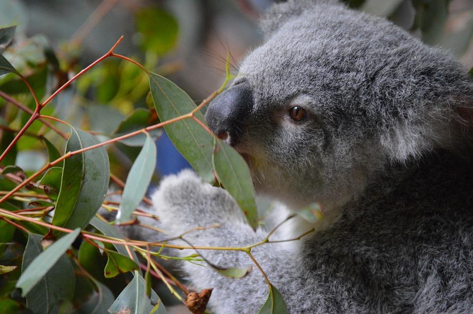 Un giovane koala che annusa foglie di eucalipto