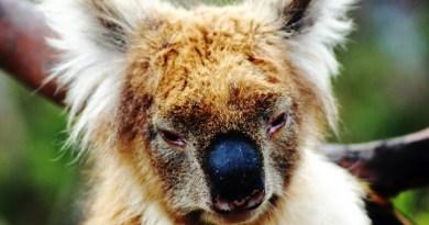 Koala in primo piano che sembra un drop bear