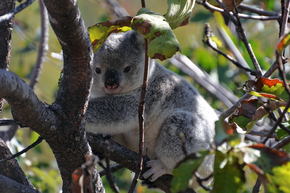 Un koala giovane sui rami