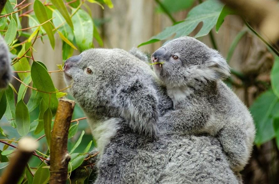 Koala mamma con il piccolo sul dorso annusano le foglie di eucalipto